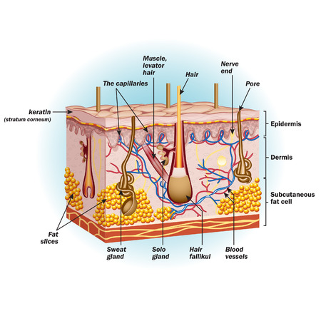 The structure of human skin cells