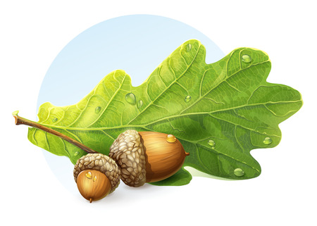 acorn seed: image on white background autumn acorns with green leaf