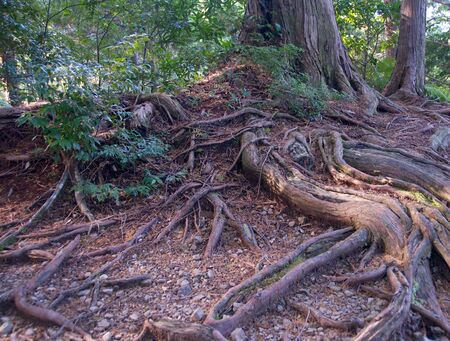 timeless: Timeless mountain cedar tree roots.