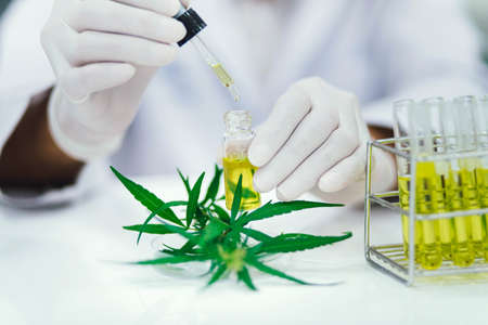 scientist in laboratory testing cbd oil extracted from a marijuana plant. Healthcare pharmacy from medical cannabis. Zdjęcie Seryjne