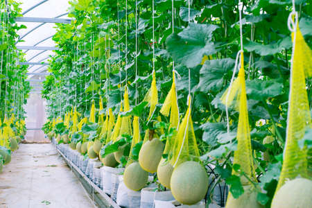 Fresh melon on tree in a plastic house farm supported by string melon nets