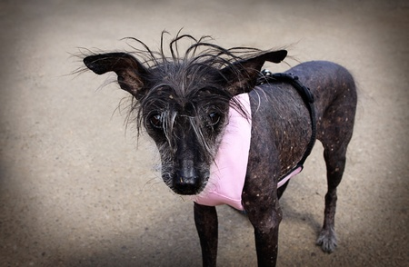 Chinese Crested Hairless dog with pink leash photo