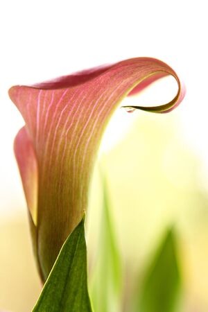 露の滴でオランダカイウユリ