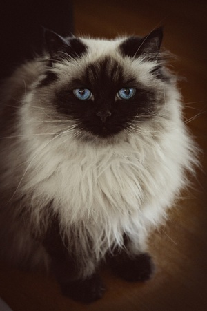 blue siamese: long hair siamese cat