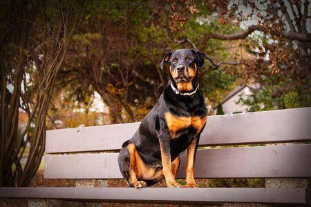 公園のベンチに座ってロットワイラー 写真素材