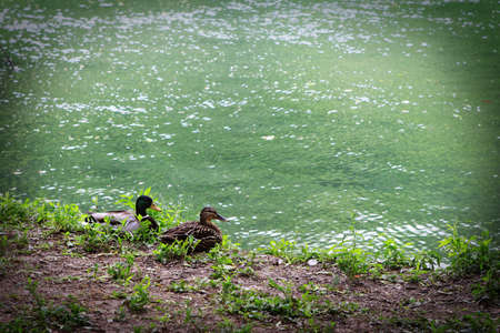 2 ducks at the pond photo