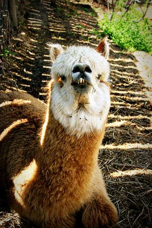 close up of brown and white llama photo