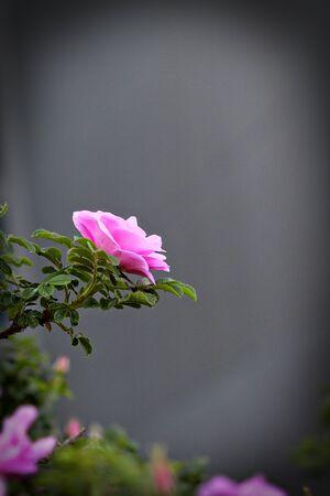灰色の背景にピンクのワイルド ローズ