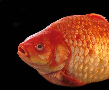 vividly: a large, vividly colored gold carp, isolated on black