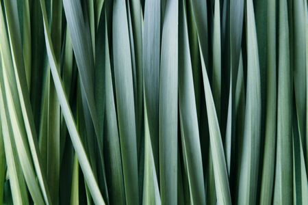 적합: fresh blue-green leaves of daffodils suitable for a background