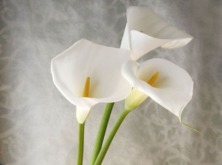 on gray: fresh white calla lilies against a decorative swirling background
