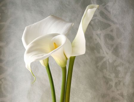 fresh white calla lilies against a decorative swirling background