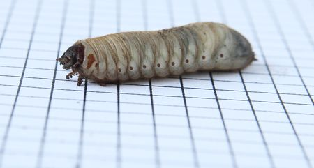 a big larva with bits of dirt on graph paper