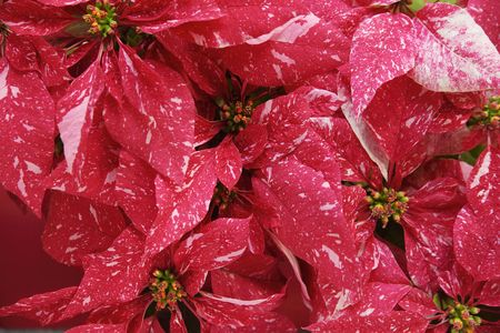 distinctive: Christmas red poinsettias with distinctive pink markings Stock Photo