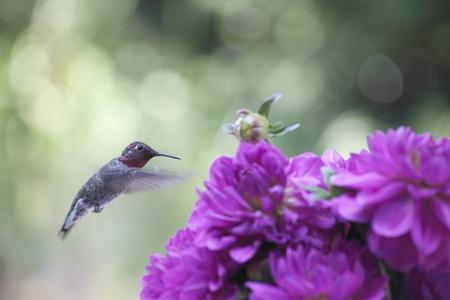 ruby throated: ruby-throated hummingbird with purple dahlias