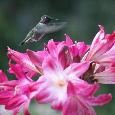 belladonna: ruby-throated hummingbird with deep pink belladonna lilies Stock Photo