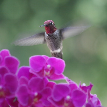 ruby-throated hummingbird with miniature orchids