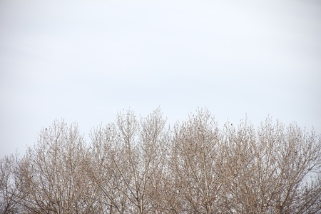 bleak: a stand of trees against a gray winter sky with copy space Stock Photo
