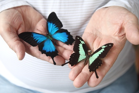 two exotic swallowtail butterflies on a man s hands