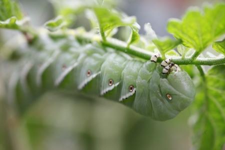 tomato caterpillar: caterpillar pest on a tomato plant