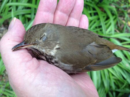 flew: Bird momentarily stunned after flying into window