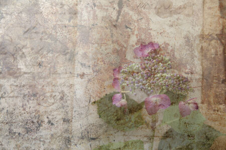 grunge layer: hydrangea flower with buds and leaves with old handwriting and grunge layer Stock Photo