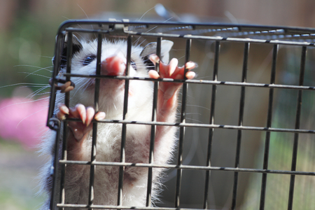 humane: baby possum in humane trap, released in woods