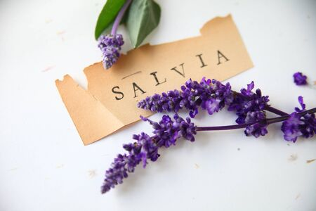 salvia: The word salvia on old torn paper with purple flowers Stock Photo