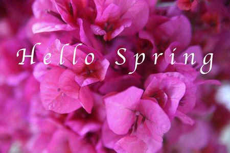 Closeup of dark pink bougainvillea with the words Hello Spring in white type