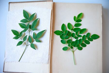 Fresh green leaves from a nandina bush on handmade paper and moringa tree leaves on a vintage book page
