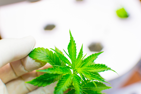 Cultivation of cannabis. A hand in a white rubber glove holds a sheet of marijuana. Stock Photo