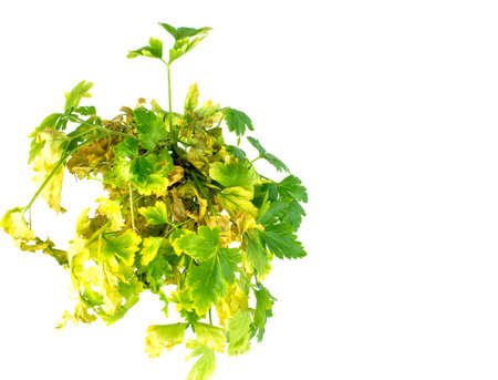 Withered parsley leaves on white background. Stock Photo