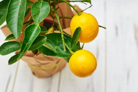 Lemon plant with two fruits on a light background.
