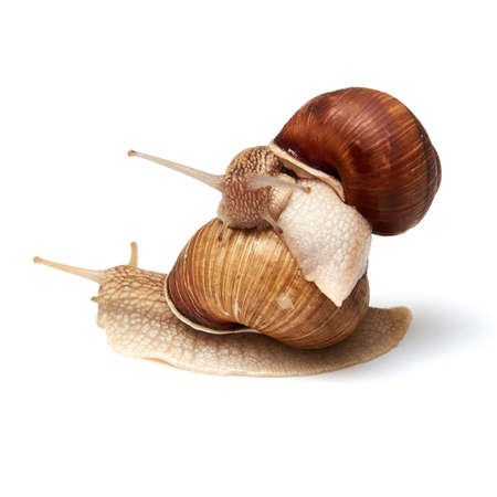 Two snails on a white background. Isolated. The concept of relationships, love.