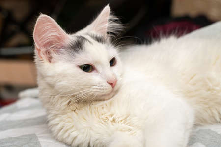 A white kitten with black spots on its head lies on the couch.