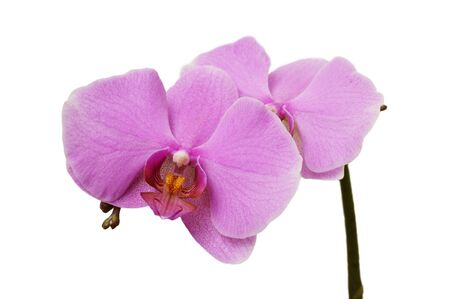 guess: orchid flower on a white background