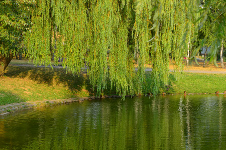 lowers: the weeping willow in park lowers branches in water Stock Photo