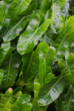 philodendron: philodendron  leaf