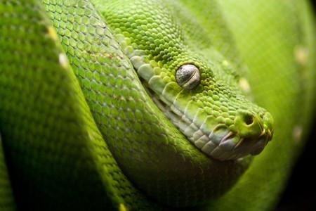 orange snake: a green snake on the hunt Stock Photo