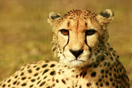 undomesticated cat: a cheetah at resting time in the sun of afrika Stock Photo