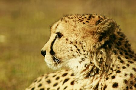 afrika: a cheetah at resting time in the sun of afrika Stock Photo