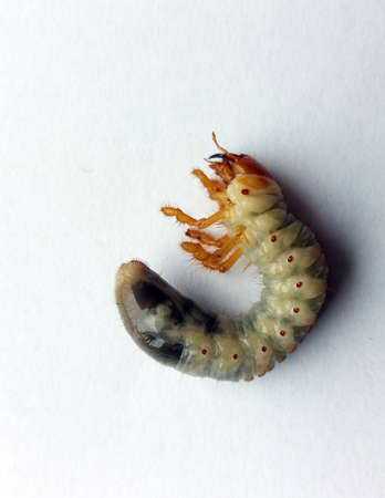 Maybug (Cockchafer) caterpillar in a white background.