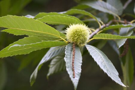 Chestnut with leaves on Chestnut tree