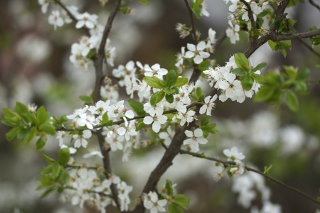White flowers of fruit tree Stock Photo