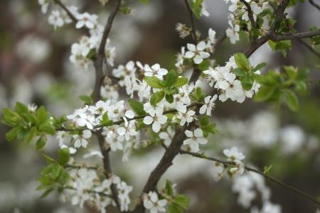 White flowers of fruit tree Stock Photo - 15711196