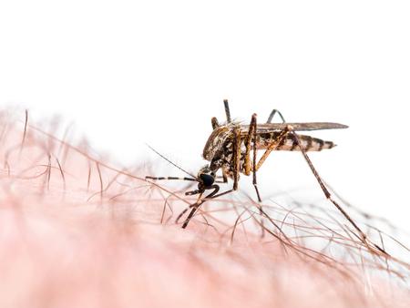 マラリアやジカ ウイルス感染蚊に刺された白で隔離