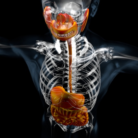 3d render of human body digestive system perspective view