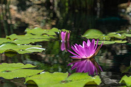 purple water lily reflecting in the water copy space photo