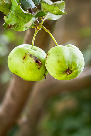 Green apple with worm hole hanging from tree. Copy space Stock Photo