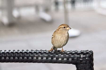 House sparrow on chair looking at camera. Copy space Stock Photo